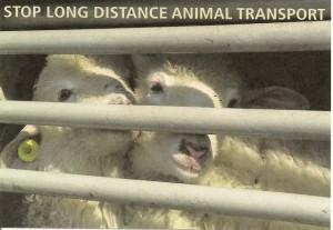 Transport des animaux abbatoir