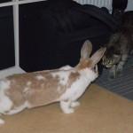 La Lapine Reminda, adoptée au refuge, a très vite copiné avec le chat de la maison