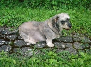 Lali adore déambuler doucement dans le jardin de ses maîtres.