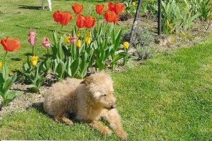 Snoopy prend un bain de soleil dans le jardin de sa maîtresse.