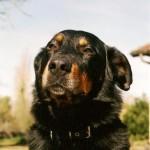 Vicky coule des jours heureux à Genlis, et ses maîtres nous écrivent que c'est un chien formidable