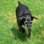 la chienne Tessy dans le jardin